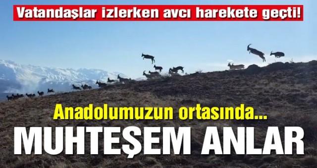 Erzincan'da vaşağın dağ keçisi sürüsüne sald .
